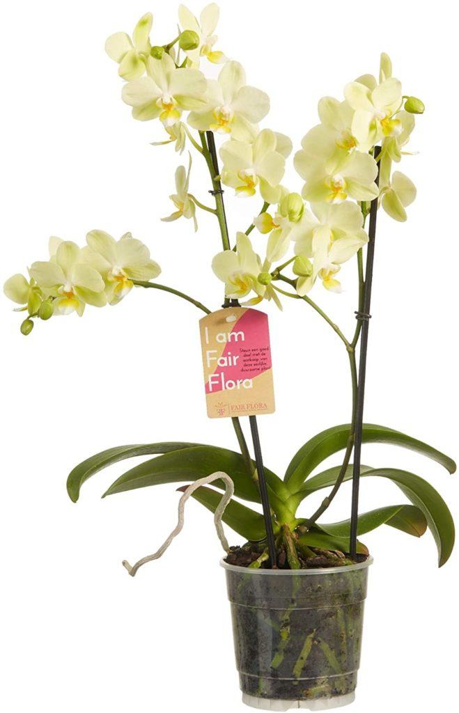 orchidea farfalla multiflora bianca phalaenopsis